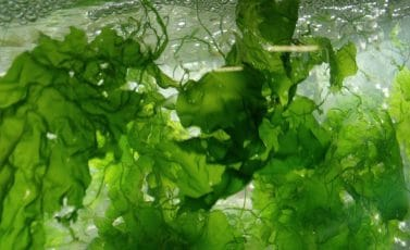 In the media: From 3D Printing And Wound Healing To Bioplastic And Faux-Cotton, Seaweed Just Keeps On Giving (Forbes.com)